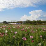 浜松市の浜名湖ガーデンパークのコスモスです。40万本と聞きました。            ・青空やコスモスの原ひろびろと(和良)