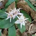 吉野川市の藤井寺の境内の小径の崖で杜鵑草を見つけました。      ・この径にこんなにも咲き杜鵑草(和良)