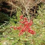 徳島市の瑞巌寺の庭園にはたくさんの南天が実をつけていました。         ・庭中に南天の実の爆ぜる寺(和良)