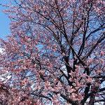 蜂須賀桜と武家屋敷の会の皆さんがお花見の会をしてくださいました。  ・青空に蜂須賀桜より赤く(和良)