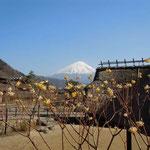 山梨県・富士河口湖町の「西湖いやしの里根場」から見た富士山です。  ・三椏の花の里より富士見えて(和良)