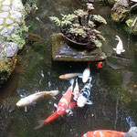 滝のやき餅屋の2階の句会場から滝の水を引いた池の寒鯉が見えました。 ・滝茶屋の池の寒鯉よく動く(和良)