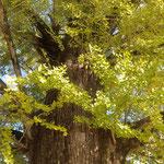 地蔵寺の樹齢800年の銀杏の幹は太くがっしりとしていました。 ・黄葉の銀杏の幹の太さかな(和良)
