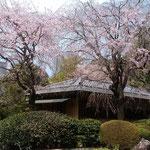 新宿御苑には茶室もあり静かな雰囲気で抹茶をいただきました。       ・その奥に垂れ桜の茶室かな(和良)