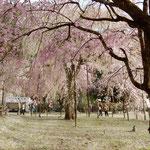 清雲寺のしだれ桜は秩父の名物であり毎年多くの観光客が訪れます。   ・貫禄の秩父のしだれ桜かな(和良)