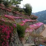 吉野川市美郷にある高開石積みの芝桜を見てきました。         ・段畑の土をとどめて芝桜(和良)