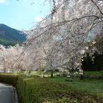 神山町では日本一しだれ桜を咲かそうと取り組んでいます。 ・日本一しだれ桜を咲かさうと(和良)