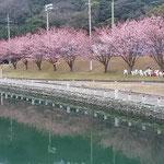 助任川南岸の蜂須賀桜はこんなに大きく育ちました。          ・紅の濃き蜂須賀桜川面にも(和良)