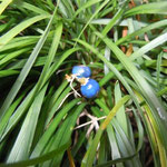 石塀の続く徳島市八万町で見つけた竜の玉です。綺麗な瑠璃色でした。 ・あるはずと探せばありし竜の玉(和良)
