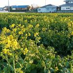 藍住町では宅地化が進み、この菜の花畑の隣も宅地になっていました。  ・菜の花や隣の畑も宅地へと(和良)