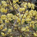 文化の森では蝋梅の花が満開に咲き競っていました。                      ・蝋梅の花も蕾も臈けて(和良)