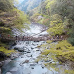 祖谷のかずら橋です。若葉の中に架かっていました。          ・新緑のまぶしき秘境かずら橋(和良)