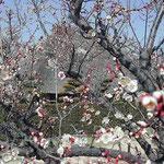 松茂町の阿波の里に今年も梅の花を見に行きました。満開でした。 ・梅咲きし空真青なり大藁屋(和良)
