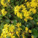 眉山山頂の石蕗の花には明るい冬の日差が差していました。 ・冬日向とはこんなにも明るくて(和良)
