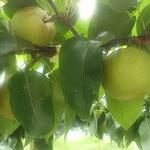 最近は袋掛けをしないで梨を実らせるとお聞きしました。  ・この頃は袋掛けせず梨実る(和良)