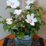 料理屋の離れに置かれた鉢の木槿には気品がありました。  ・鉢植の木槿の花にある気品(和良)