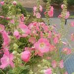 阿波史跡公園の入口に立葵が綺麗な花をつけていました。        ・立葵阿波の史跡の里に咲く(和良)