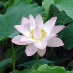 朝の散歩のおり、藍住町の自宅近辺で見つけた蓮の花です。 ・四方山のこと忘れけり蓮の花(和良)