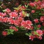 吉野川市の船窪つつじ公園では、ひっそりと咲く躑躅もありました  ・公園の裏の裏道躑躅咲く(和良)
