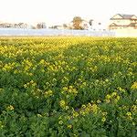 藍住町の自宅周辺の散歩の途中、菜の花畑を見つけました。       ・菜の花の方へ散歩の足の向く(和良)