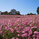 立川市の昭和記念公園には四百万本のコスモスが咲き競っていました。          ・コスモスの十重に二十重に続く丘(和良)