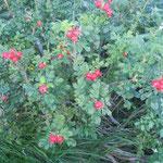 石狩灯台とはまなすの丘公園で見た真っ赤な浜茄子の実です。                           ・地に撒ける浜茄子の実の真っ赤かな(和良)