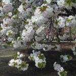 新宿御苑の「桜を見る会」に出席してきました。八重桜が満開でした。  ・八重咲いて今年二度目の花見かな (和良)