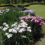皇居東御苑の菖蒲園では白い花が特に印象に残りました。 ・白とふは粋な色なり花菖蒲(和良)