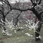 皇居東御苑にある梅林坂の梅です。散り始めていました。  ・紅梅に白梅の白際立ちぬ (和良)