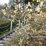 徳島市の文化の森の臘梅です。石段に沿って咲いていました。            ・蠟梅を見上げ見下ろし磴登る(和良)