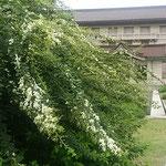 上野の東京国立博物館に行ってきました。玄関広場の白萩が見事でした。 ・白萩の大樹のかくも堂々と(和良)