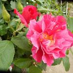 藍住町の薔薇園では大輪の赤い薔薇に特に人気がありました。      ・大振りの薔薇は視線を集め咲く(和良)