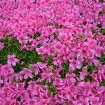 東御苑では綺麗に刈り込まれたさつきが犇き合って咲いていました。  ・犇きてなほ犇きてさつき咲く(和良)