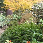 丈六寺の庭園では紅葉と実千両が美しさを競っていました。  ・紅葉好く実千両好き古刹かな(和良)