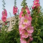 背の高い大きな立葵は花や蕾をたくさんつけていました。  ・今日もまた一つ花咲き立葵(和良)