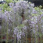石井町の地福寺で藤祭が始まりました。                                          ・鉢植えの咲きて始まる藤祭(和良)