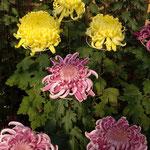今年の菊花展は会場全域を使ってひろびろと行われました。 ・ひろびろと今年の菊の展示会(和良)