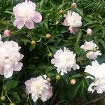 藍住町を散歩しているときに見つけた芍薬です。            ・芍薬の花は清楚でありにけり(和良)