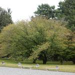 京都御所を散策しました。大きな桜が色づき始めていました。         ・一枝に始まる桜紅葉かな(和良)