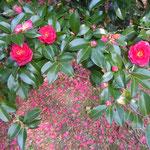 徳島城公園で見た山茶花です。咲く赤と散ってしまった赤が印象に残りました。      ・山茶花の咲き継ぐ赤と散りし赤(和良)