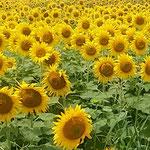 向日葵の畑には生き生きとした明るさがあふれていました。 ・一面の向日葵畑の明るさよ(和良)