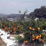 静岡県・細江町で蜜柑をいただきました。おいしかったです。 ・蜜柑褒め一個いただき遠江(和良)