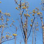 蜂須賀桜のある武家屋敷の裏庭に山茱萸の花が咲き始めていました。   ・裏庭に山茱萸の咲く武家屋敷(和良)