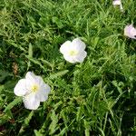 鳴門市のウチノ海総合公園にはこんな可愛い草花が咲いていました。     ・可憐なるその名知りたし草の花(和良)
