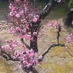 徳島市中央公園にある徳島城の庭園には八重の紅梅が咲いていました。  ・蜂須賀の松の庭園八重の梅(和良)