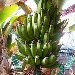 温かい西島園芸団地のテラスにはバナナも実をつけていました。     ・園芸の団地にバナナ実る土佐(和良)