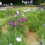 皇居東御苑の二の丸庭園では残り咲く花菖蒲に人が集まっていました。  ・花菖蒲色鮮やかに残り咲く(和良)
