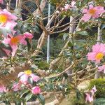 板野町の大日寺の本堂前の山茶花は大きな花びらでした。  ・この花はと聞けばこれも山茶花と(和良)