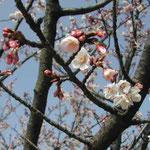皇居東御苑の寒緋桜が満開でした。緋色がきれいでした。  ・青空に寒緋桜の緋色かな (和良)