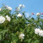 石井町諏訪の農家の庭に大きな芙蓉の花が咲き続けていました。     ・大振りの芙蓉なほ咲く里の秋(和良)